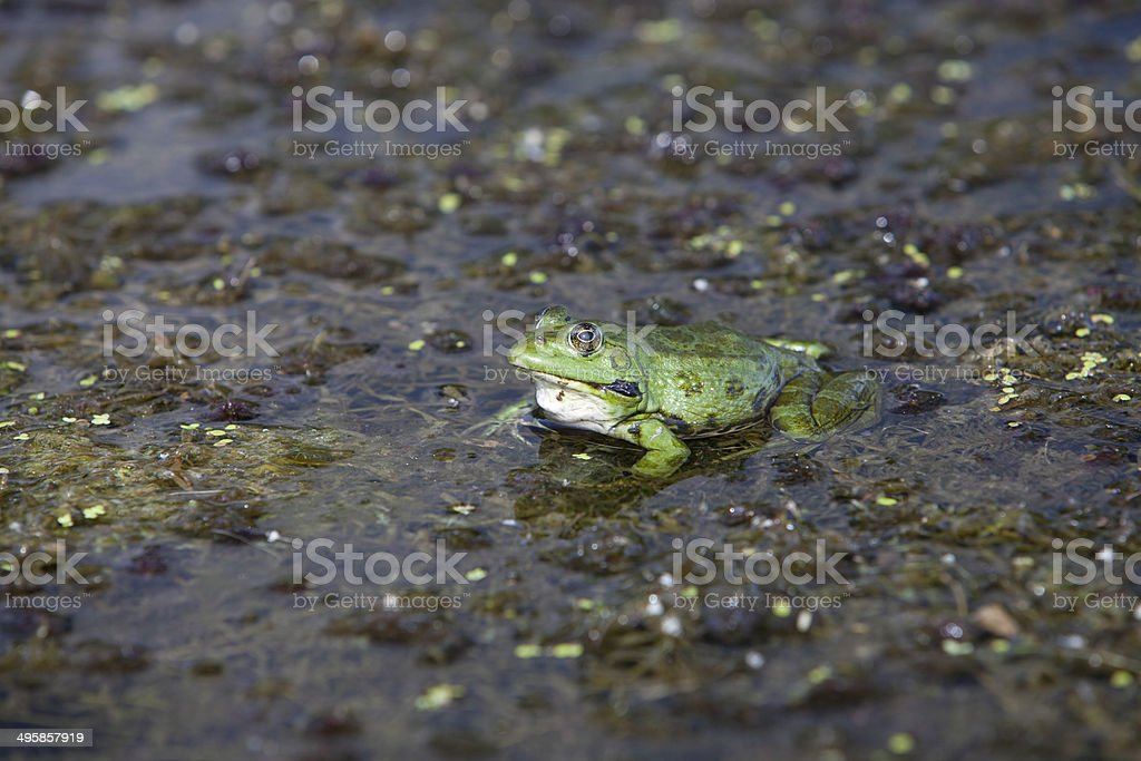 Frog sitting on water plants stock photo