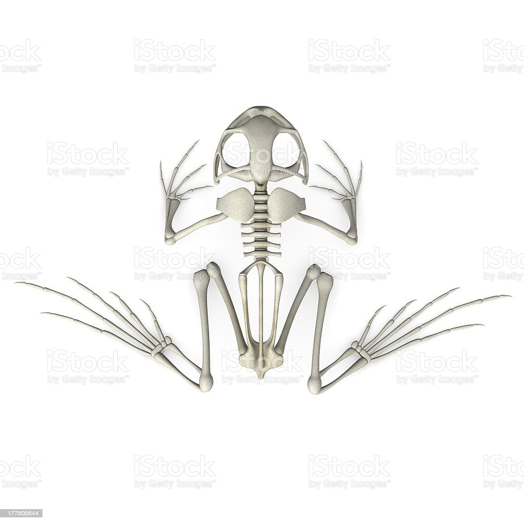 frog skeleton royalty-free stock photo