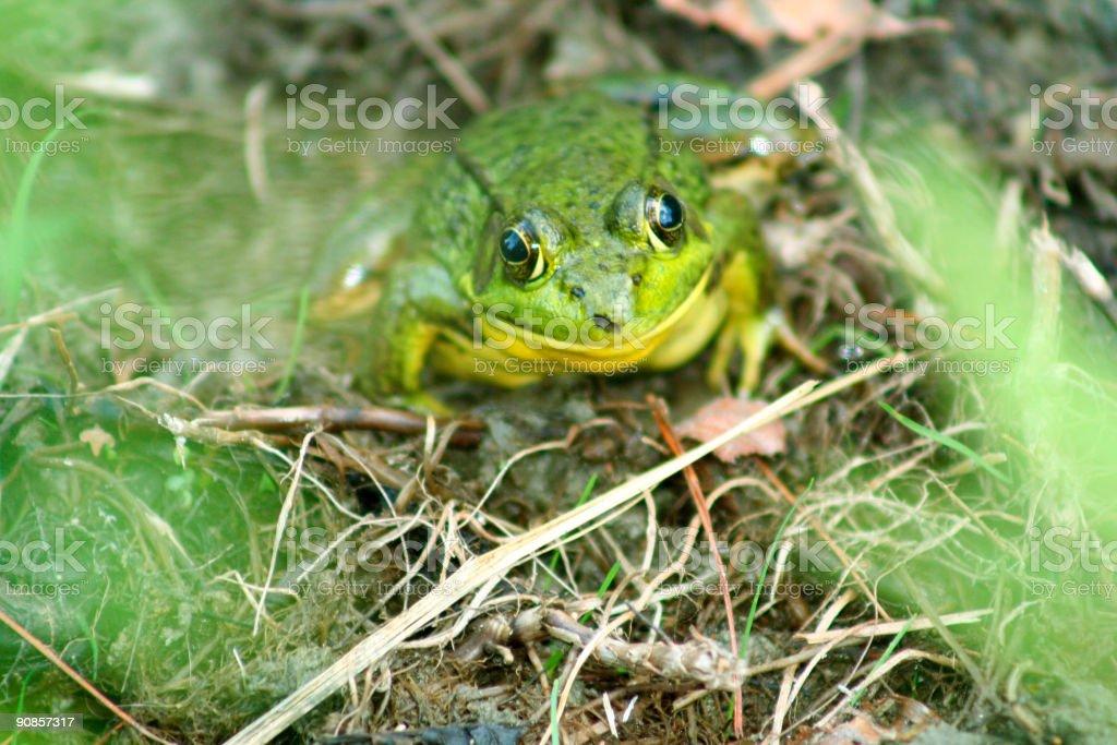 Frog smile royalty-free stock photo