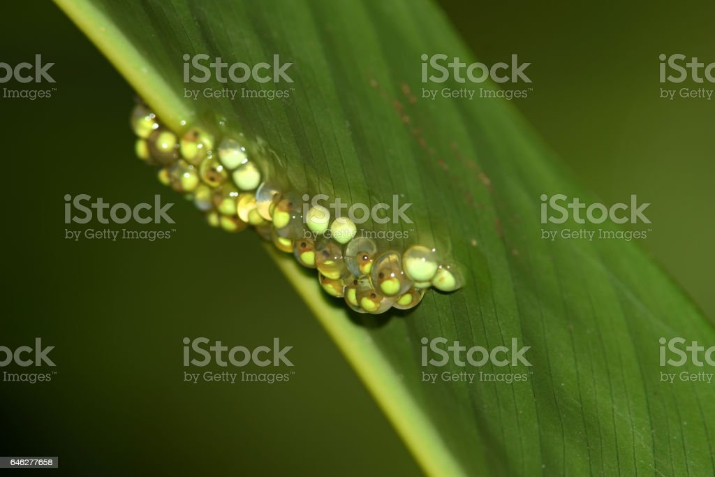 frog spawn of red-eyed tree frogs in costa rica stock photo