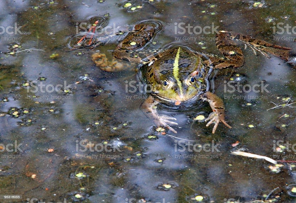 Frog sticking tongue stock photo