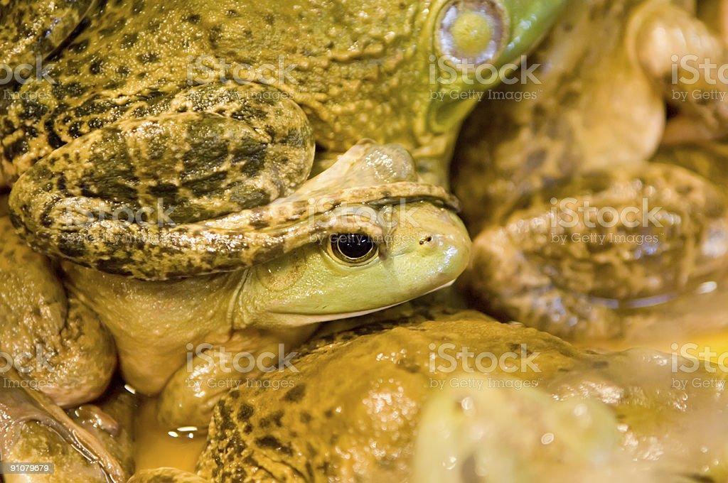 Frog Stomp stock photo