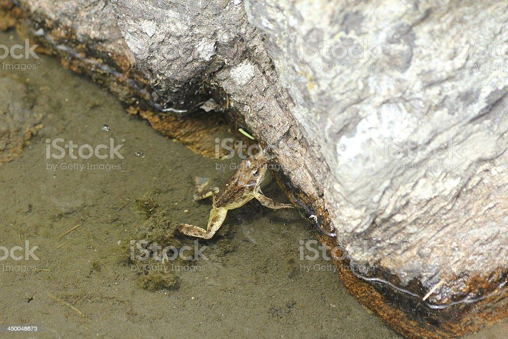 Frog swimming in Alpine Mountain Lake Schwarzmoos, K?htai, Austria royalty-free stock photo