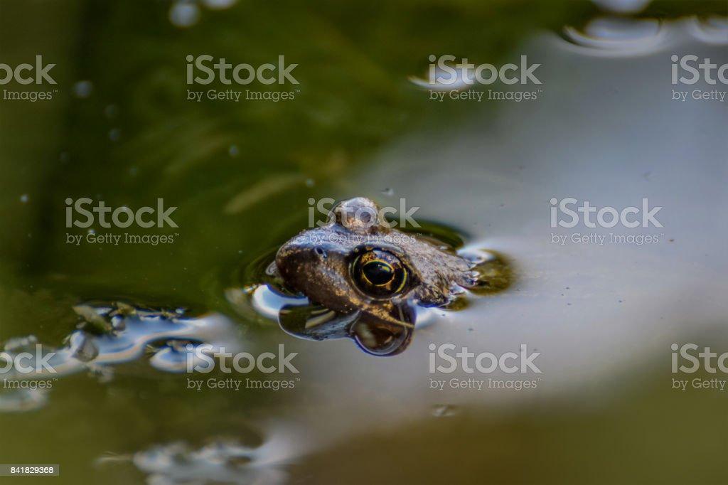 Frog swimming in the pond stock photo