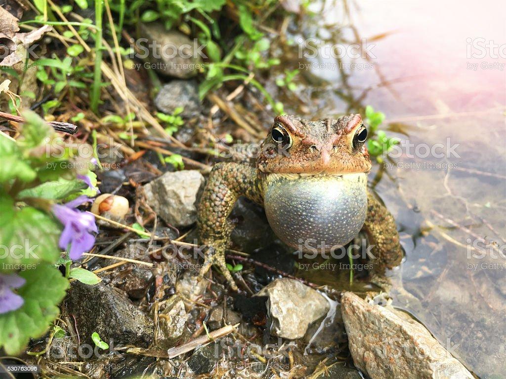 Frog Vocal Sac stock photo