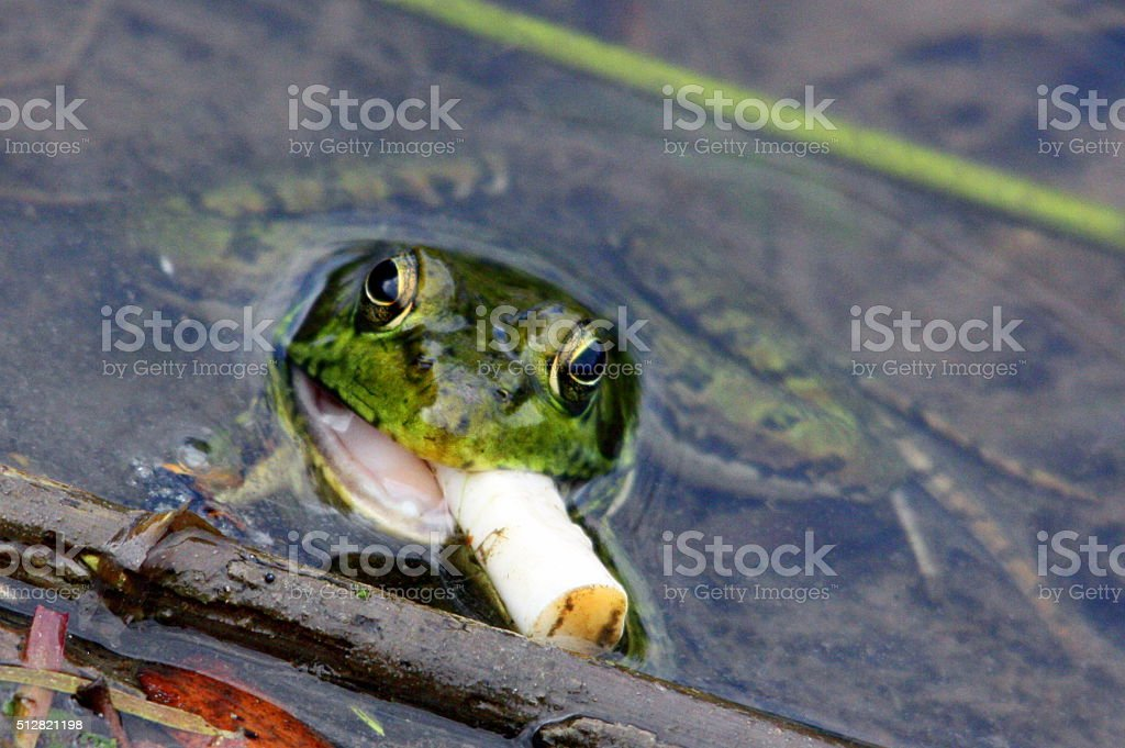 Frog with Cigarette stock photo