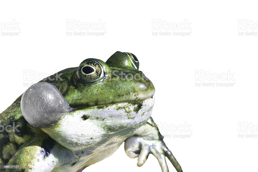 Frog with vocal sac on white stock photo