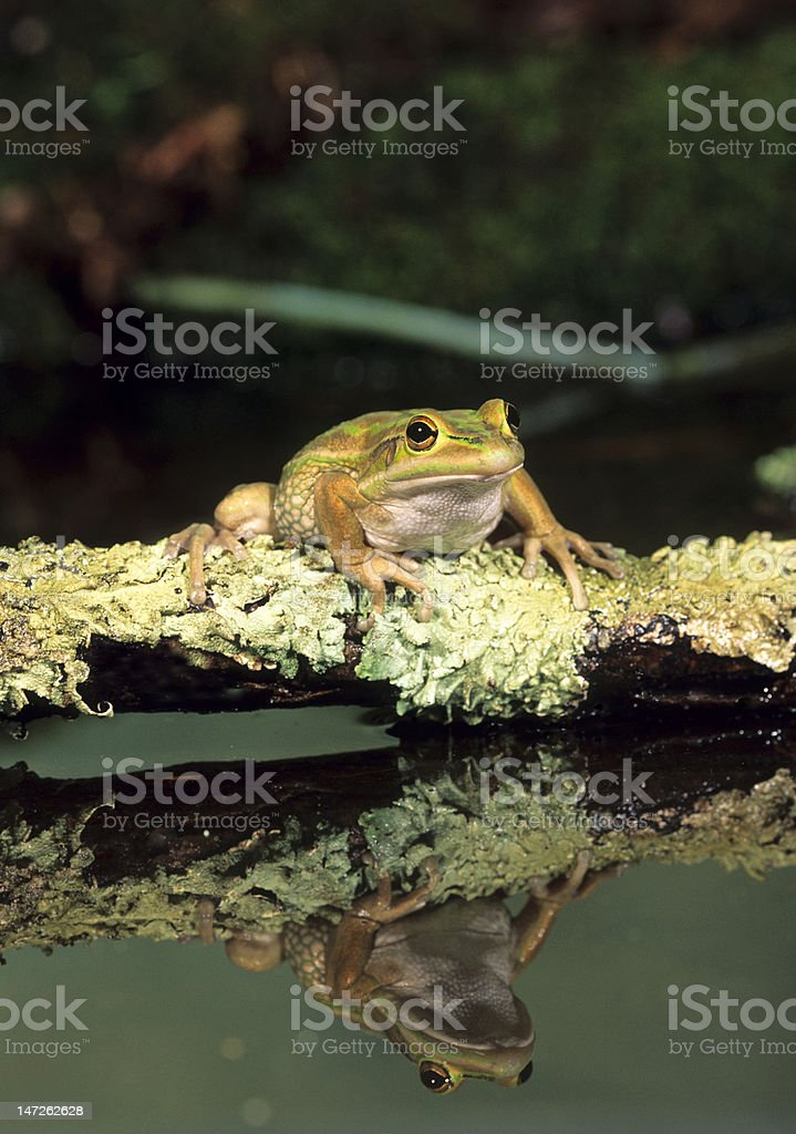Frog-Golden bell with reflection royalty-free stock photo