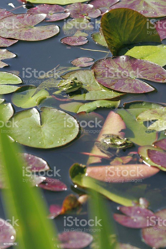 Froggy royalty-free stock photo