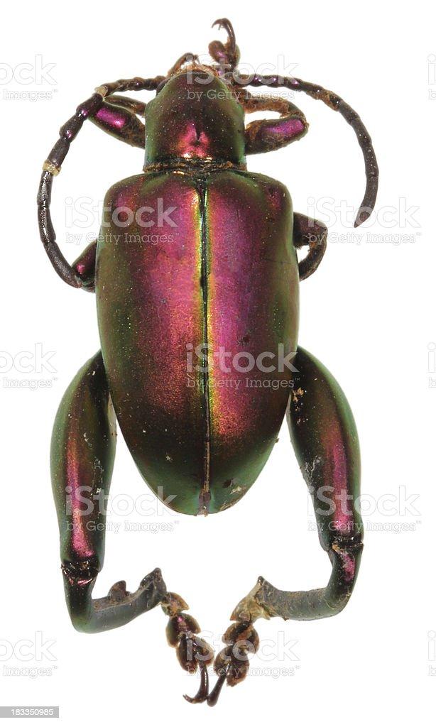 frog-legged leaf beetle stock photo