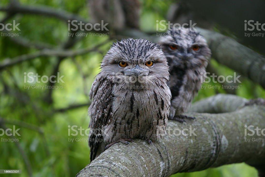 frogmouth looking direct at camera in a tree stock photo