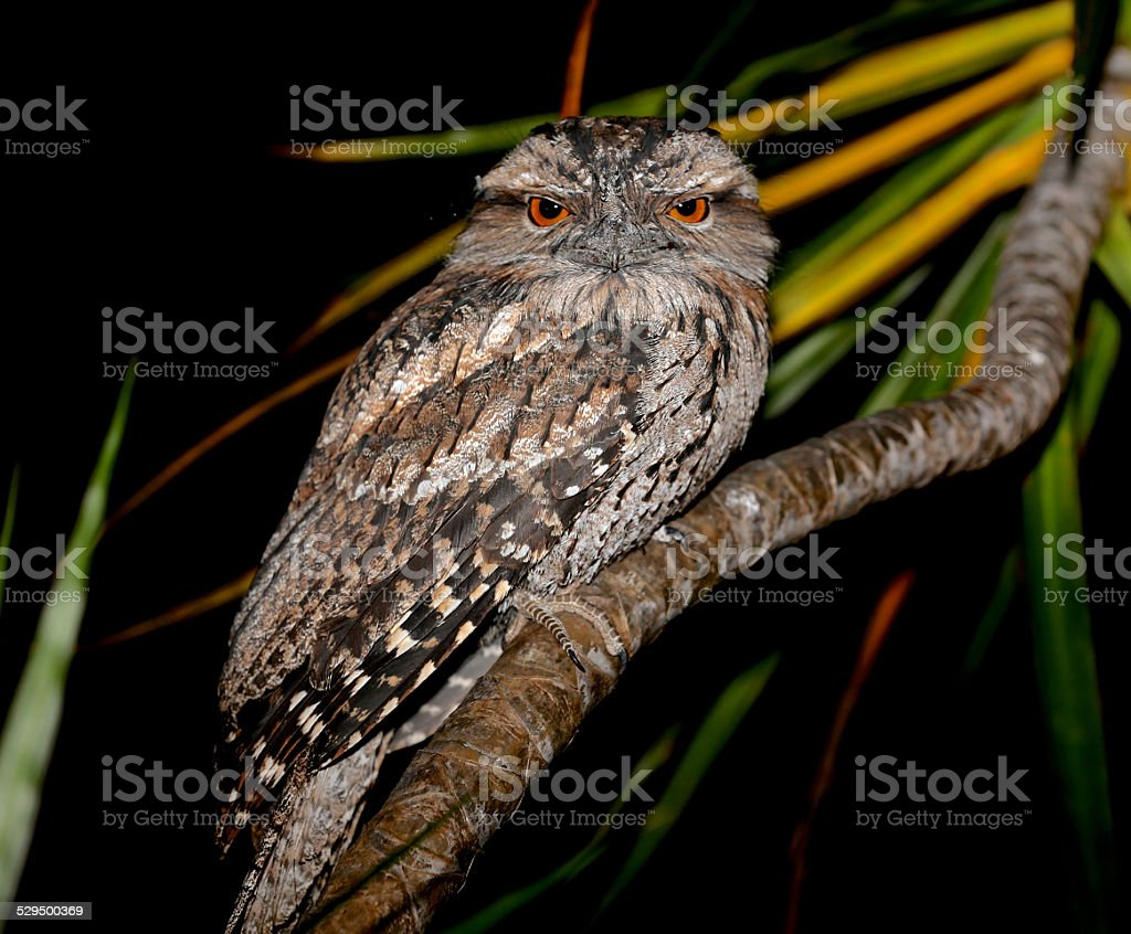 Frogmouth owl - eyes open stock photo