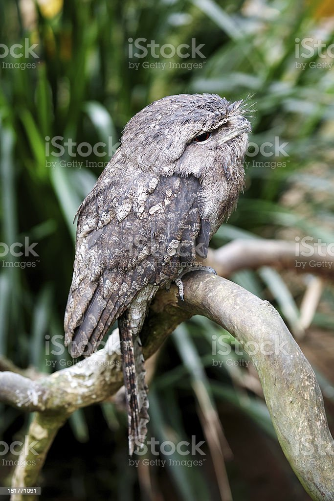 Frogmouth stock photo