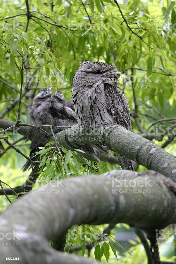 Frogmouths waking up in tree stock photo