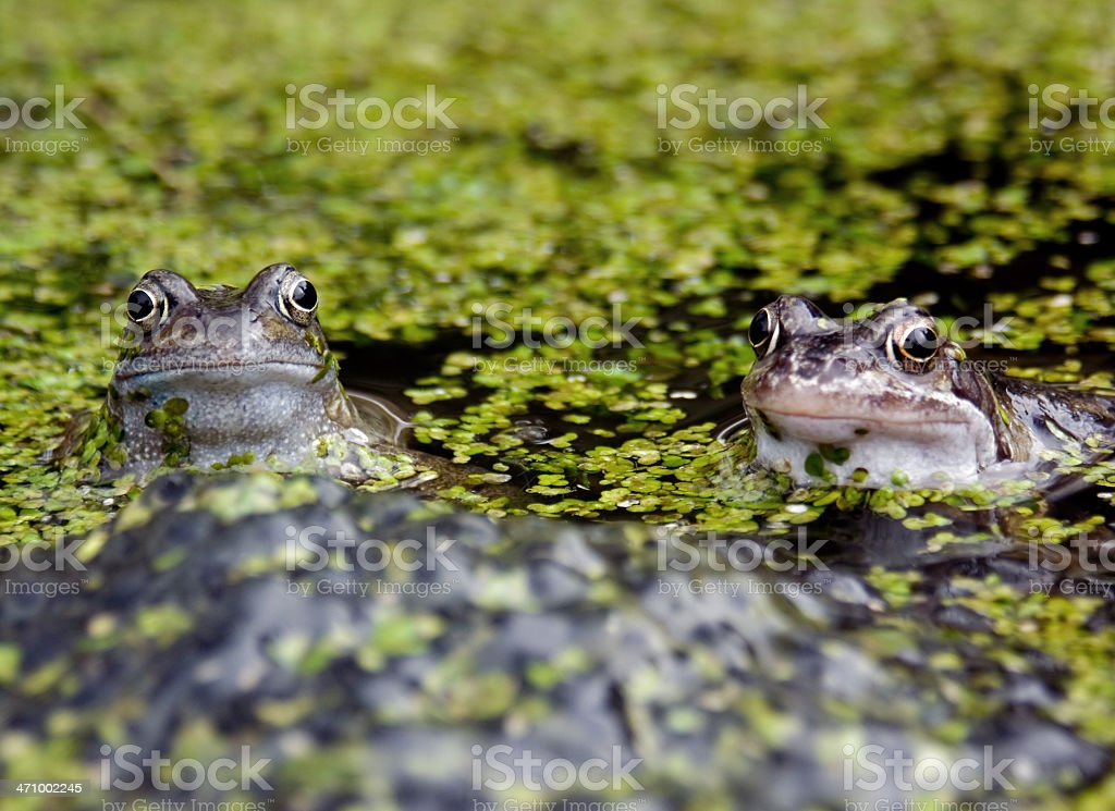 Frogs behind Spawn royalty-free stock photo