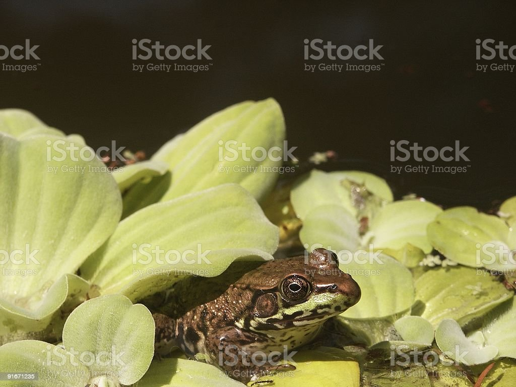 Frog's Home in Water Lettuce stock photo