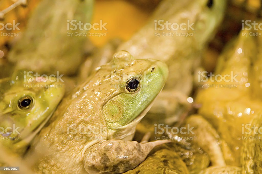 Frogs in a tub stock photo