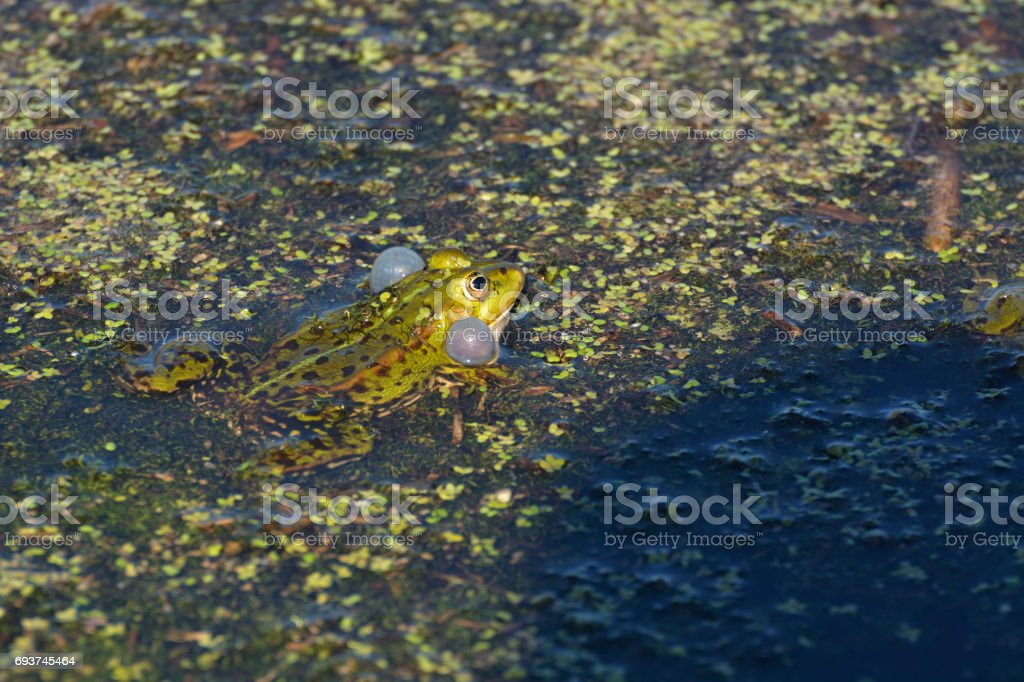 Frogs in the pond stock photo