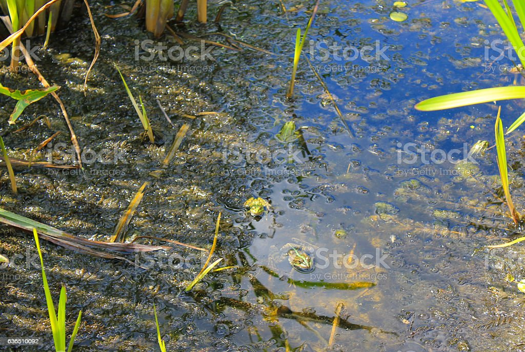 Frogs in the swamp stock photo