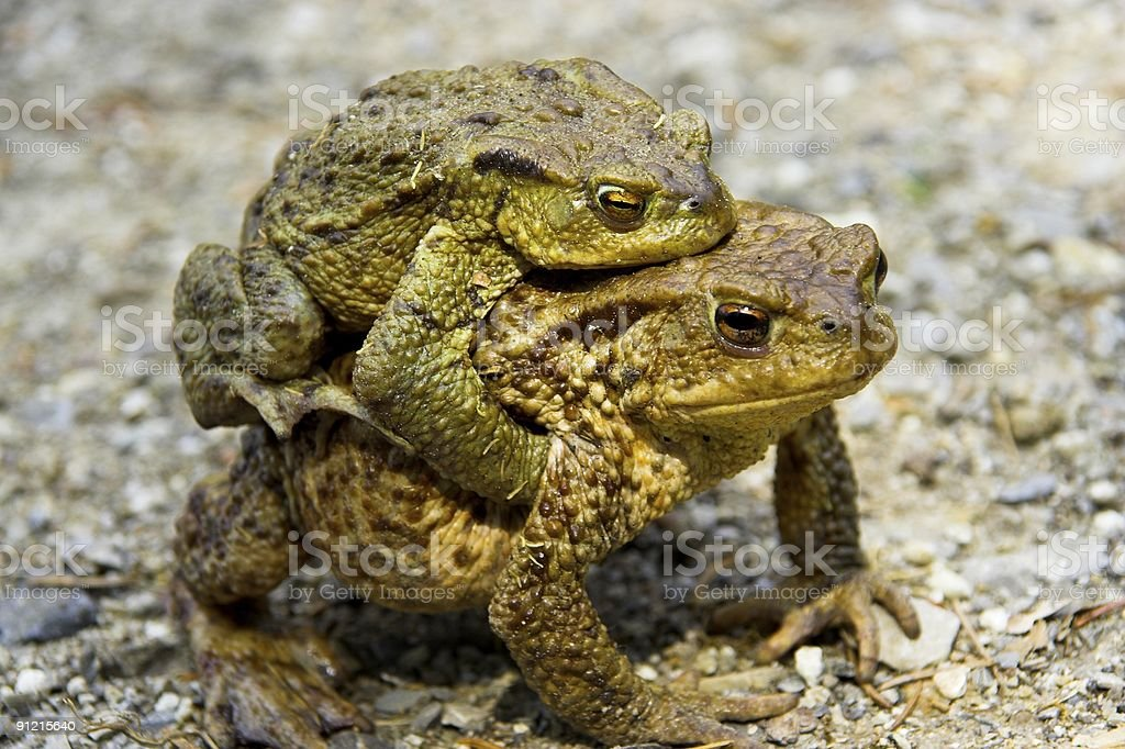Frog's love royalty-free stock photo