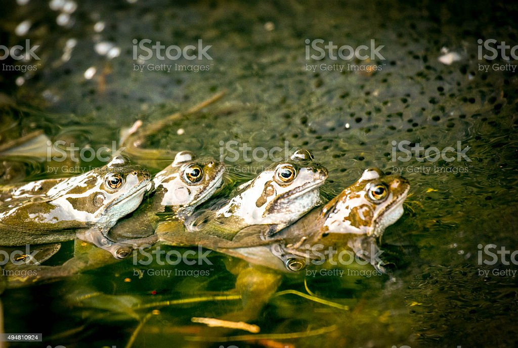 frogs mating in pond stock photo