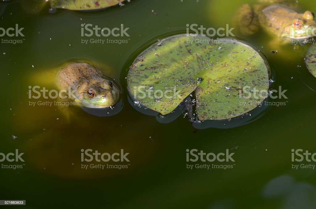 Frogs On Lily Pads royalty-free stock photo