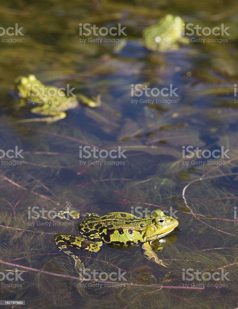 3 frogs royalty-free stock photo