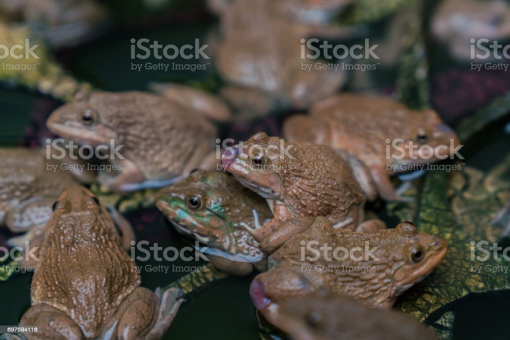frogs stock photo