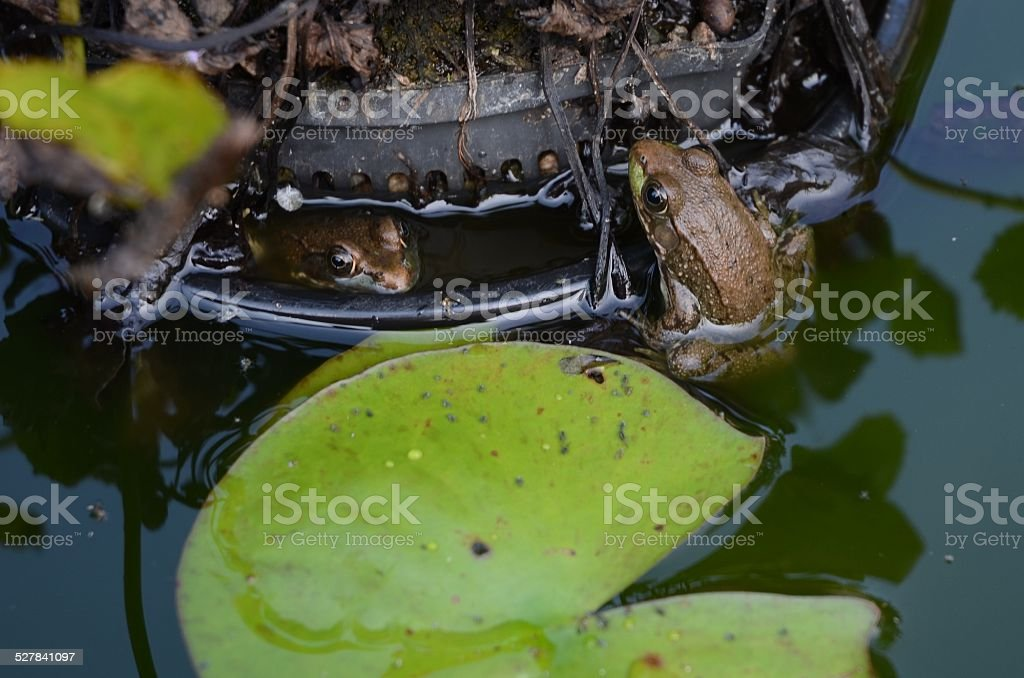 Frogs Sitting in Pond royalty-free stock photo