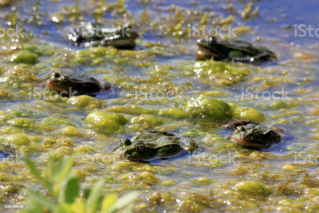 Frogs under sunbeam on surface of water in marshes stock photo