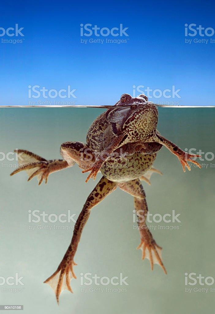Frog's wedding royalty-free stock photo