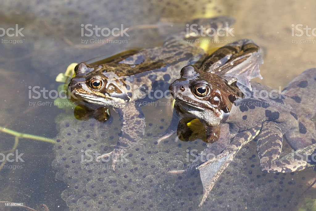 frogspawn royalty-free stock photo