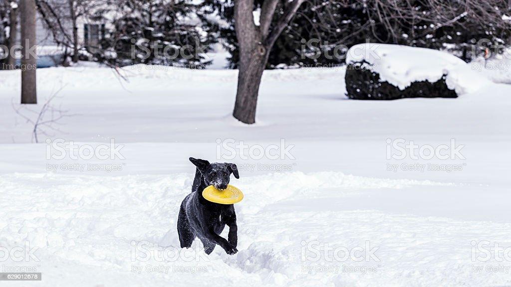 Frolicking Frisbee Fetching Female Labrador Retriever Dog in Deep Snow stock photo