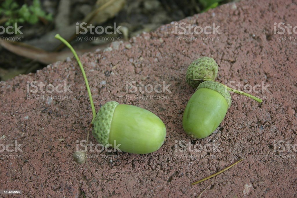 From Little Acorns Mighty Oaks Grow royalty-free stock photo