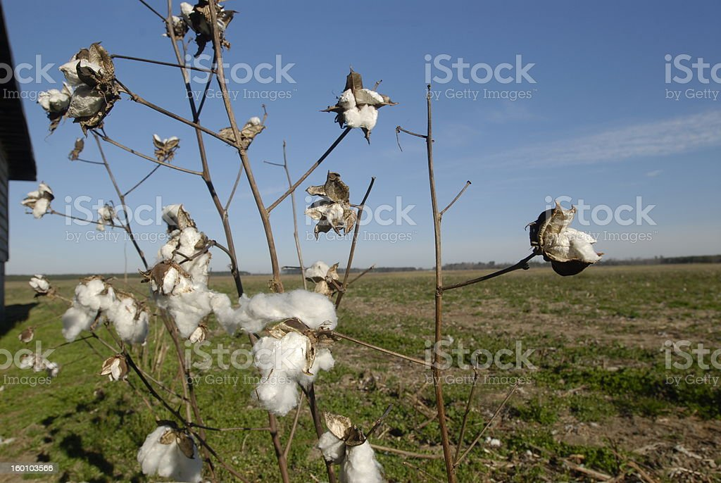 From the Cotton Field royalty-free stock photo
