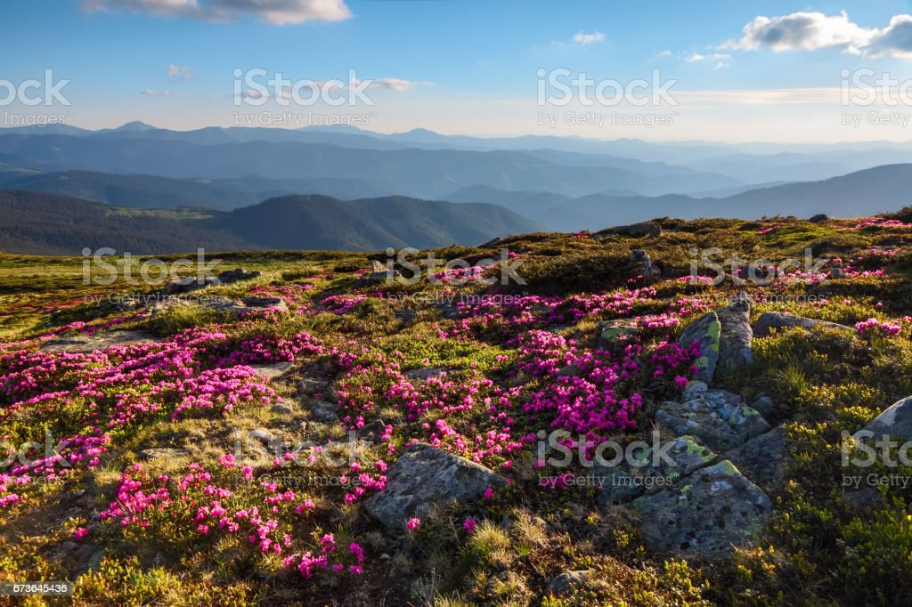 From the lawn covered with marvelous pink rhododendrons the picturesque view is opened to high mountains, valley, blue sky in sunny day. stock photo
