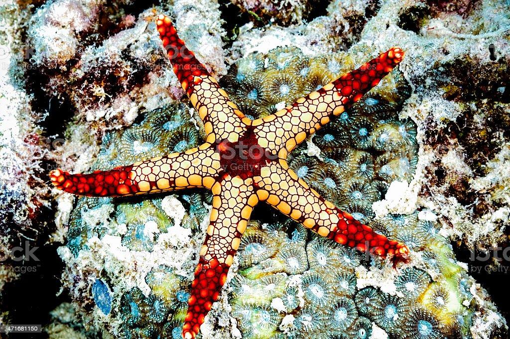 fromia monilis starfish kapoposang scuba diver diving stock photo