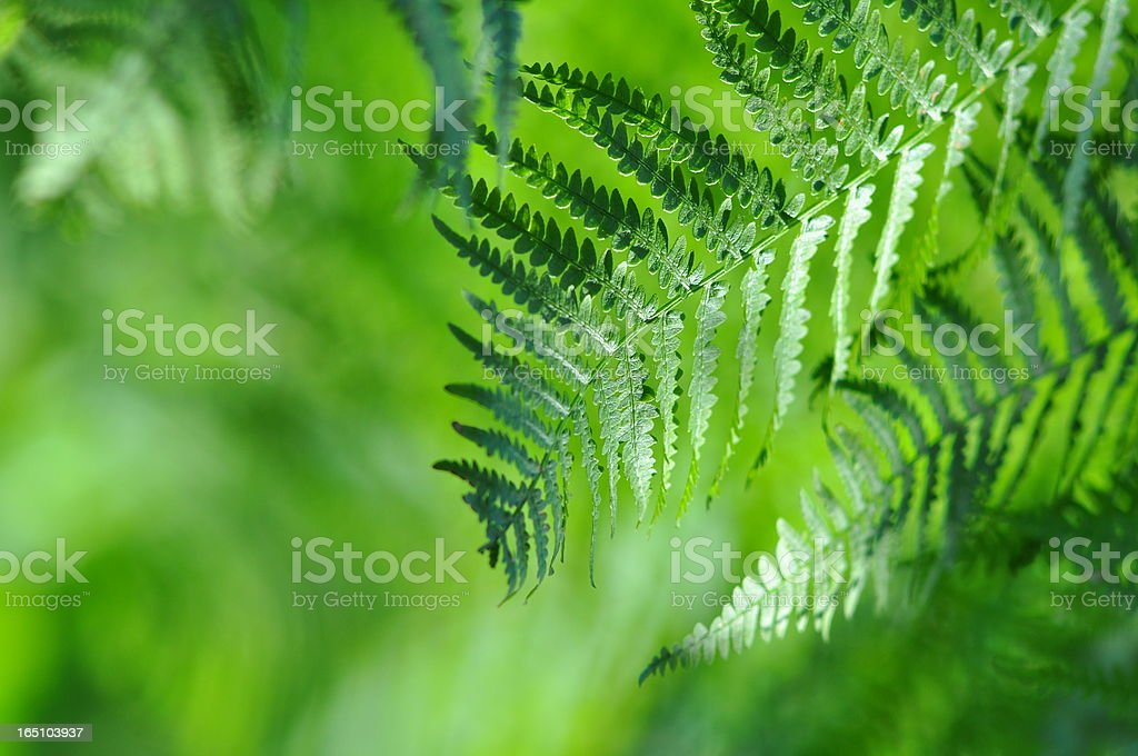 Fronds close-up in sunny forest royalty-free stock photo