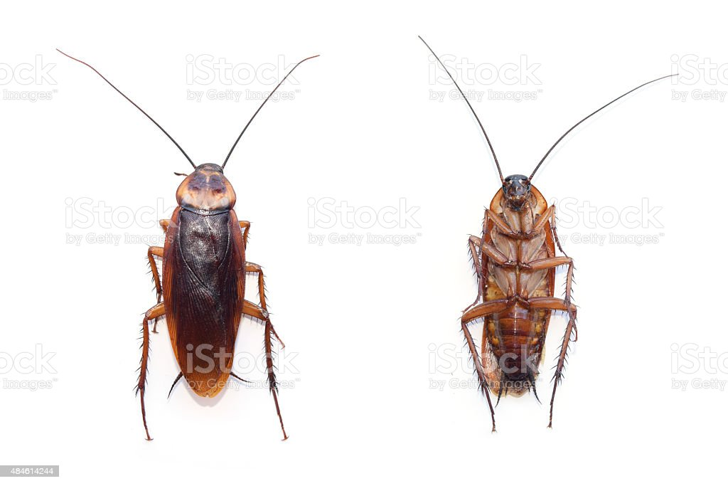 front and back cockroach isolate on white background stock photo