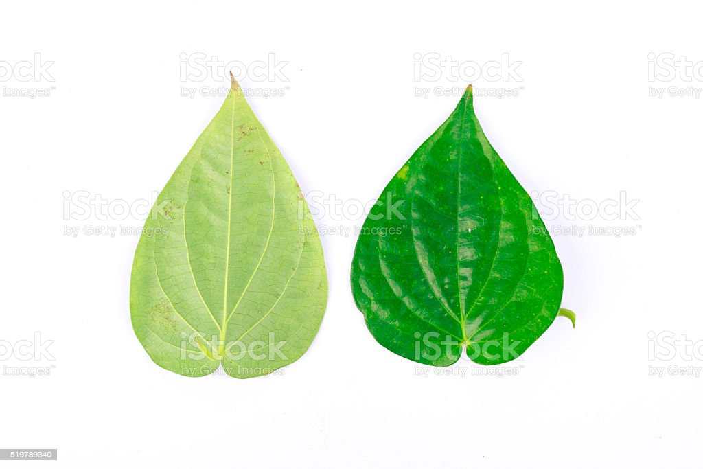 Front and rear of the betel leaf stock photo