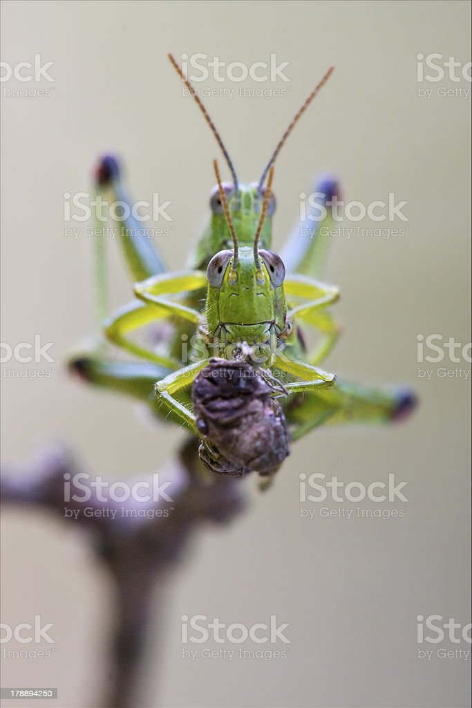 front close  of two grasshopper having sex royalty-free stock photo