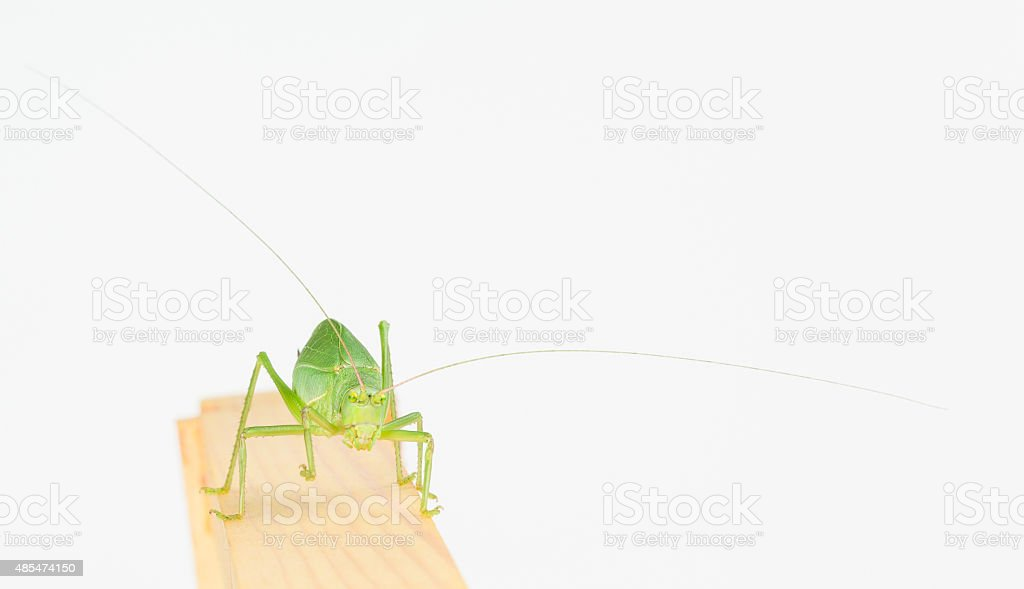 Front close up of katydid stock photo