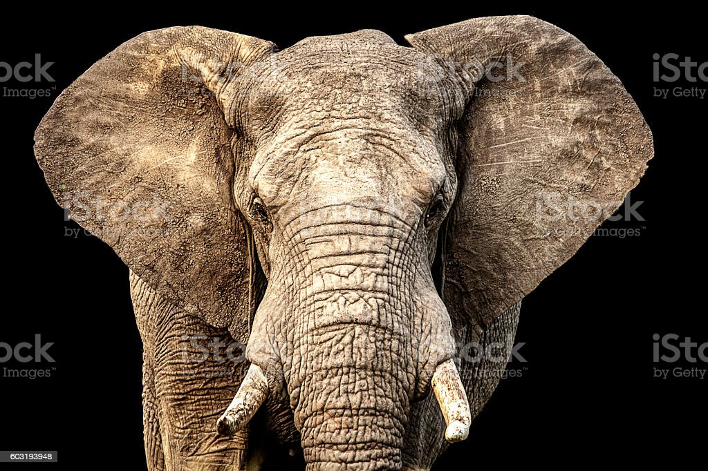 front facing African elephant with ears out and black background stock photo