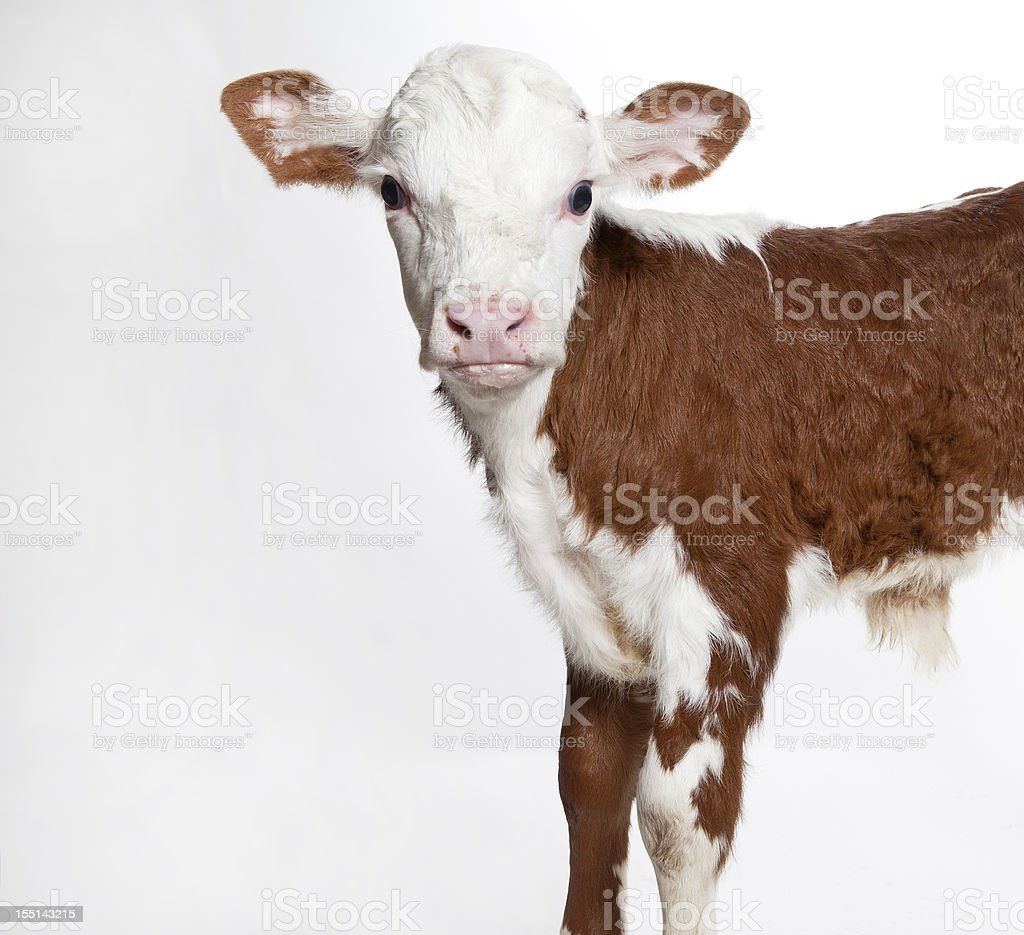 Front half of a Hereford calf looking at the camera stock photo