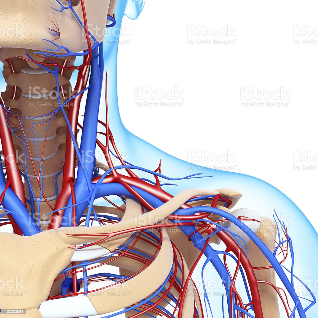 front half view of throat circulatory system stock photo