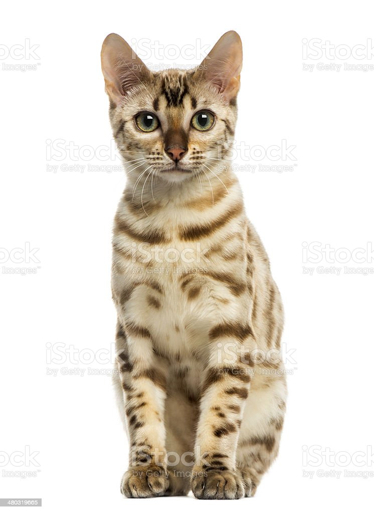 Front view of a Bengal cat sitting, looking stock photo