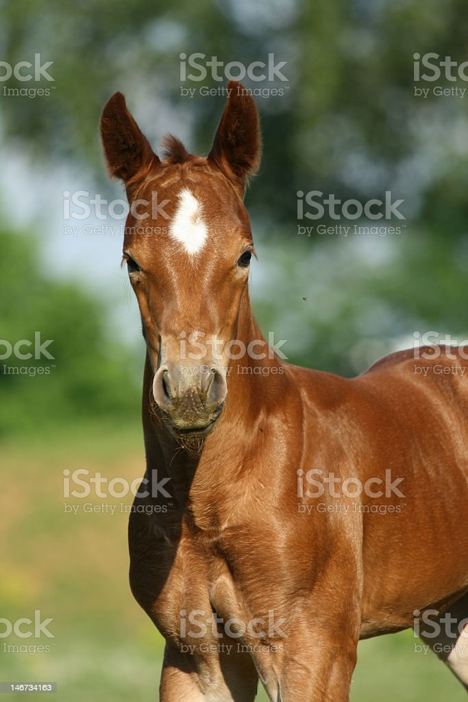 Front view of a brown horse with white patch on forehead stock photo
