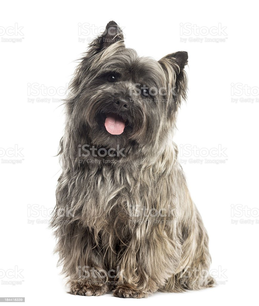 Front view of a Cairn Terrier sitting, panting, isolated stock photo