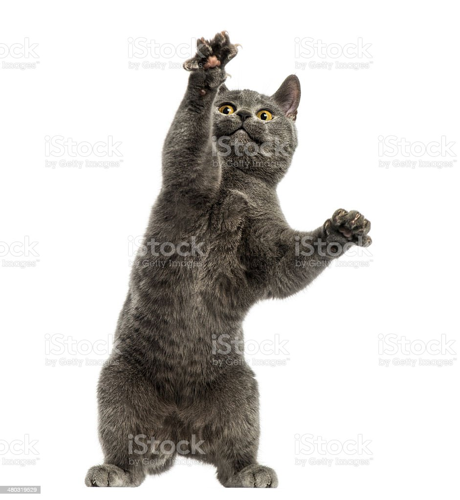 Front view of a Chartreux kitten on hind legs stock photo