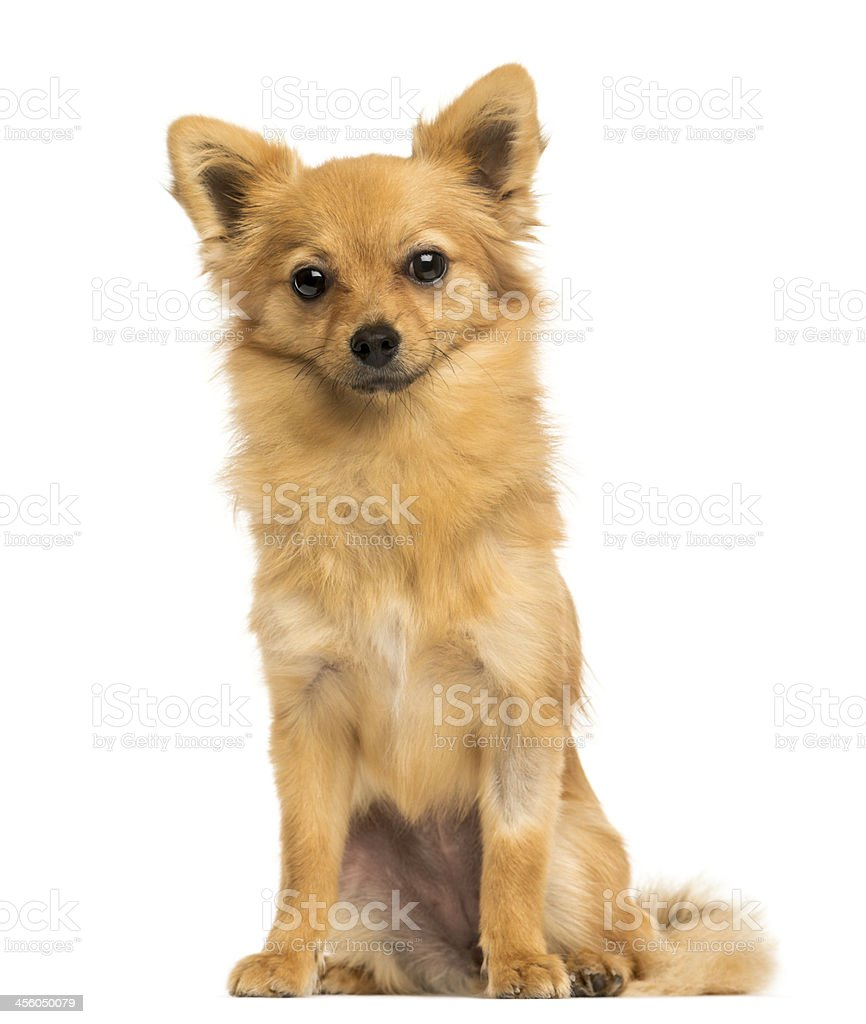 Front view of a Crossbreed dog sitting, 8 months old stock photo